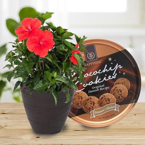 Enchanting Combo of Hibiscus Plant with Cookies