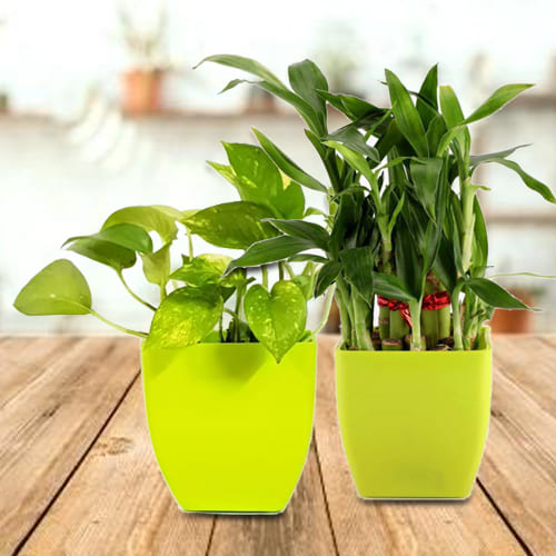 Breathtaking Combo of 2 Layer Lucky Bamboo Plant N Money Plant in Plastic Containers