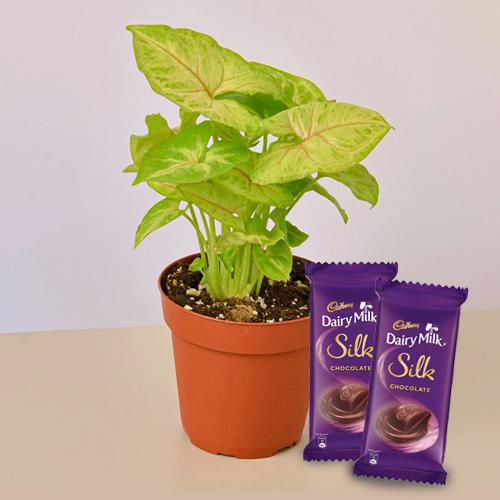 Delicate Combo Gift of Syngonium Plant with Chocolate