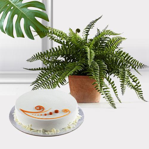 Evergreen Indoor Decor Bostern Fern Plant with Cake